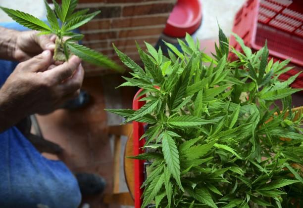Reglamentaron la ley de uso medicinal del cannabis